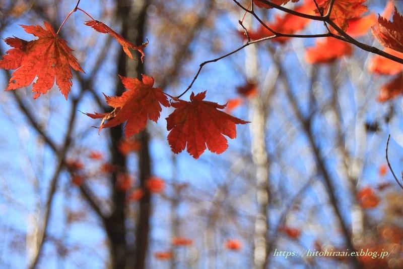 八ヶ岳倶楽部の紅葉 ② 雑木林を散策_f0374092_16591460.jpg