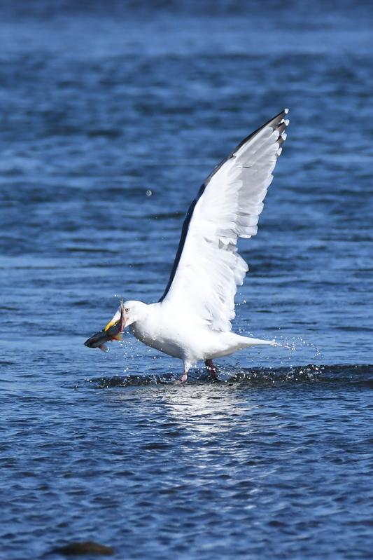 セグロカモメが飛びながら_e0097534_1194928.jpg