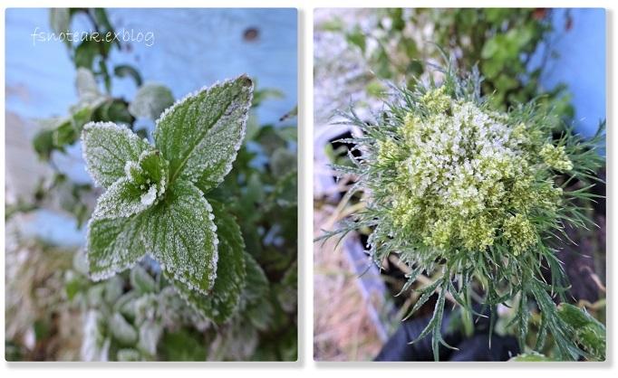 霜の世界 最後の収穫_d0356844_04131336.jpg