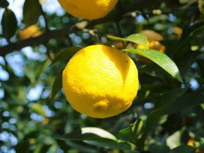 香り高き柚子 令和元年の出荷を本日よりスタート!大人気の「冬至用柚子」のご予約はお急ぎ下さい!!_a0254656_18554342.jpg