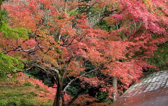 愛宕寺(おたぎでら)紅葉の盛り_e0048413_22074526.jpg