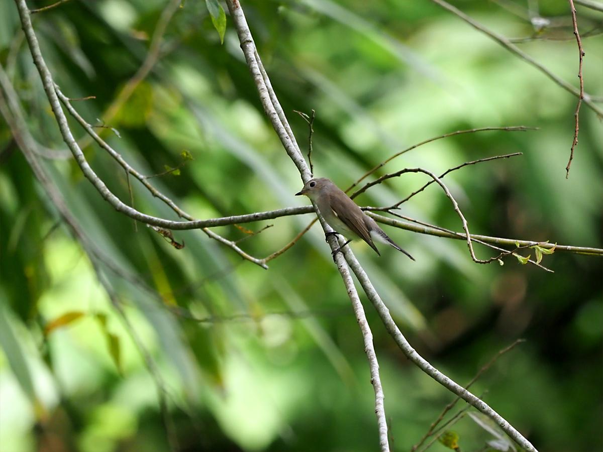 オジロビタキ(Red-throated Flycatcher)_d0283373_14552765.jpg