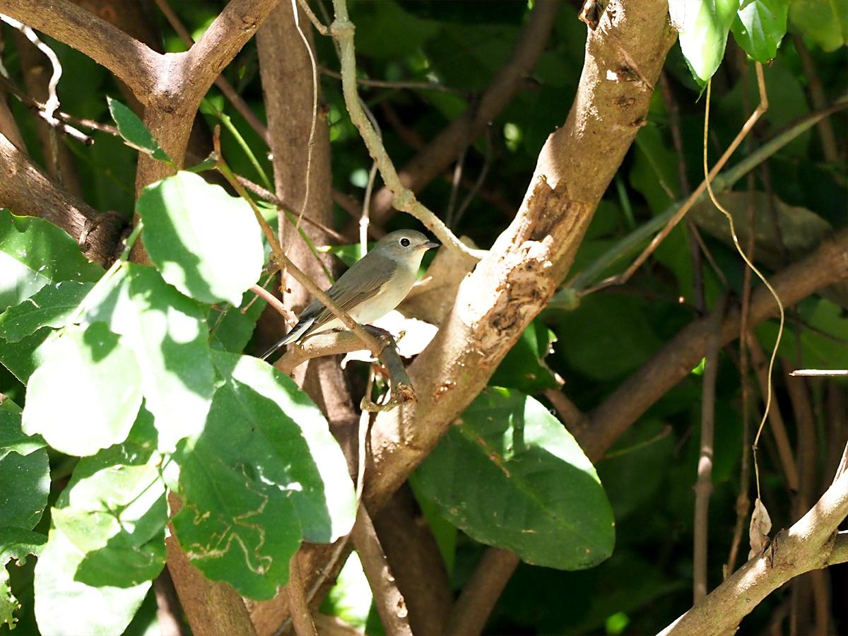 オジロビタキ(Red-throated Flycatcher)_d0283373_14555666.jpg
