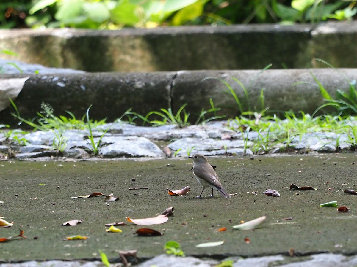 オジロビタキ(Red-throated Flycatcher)_d0283373_1456860.jpg