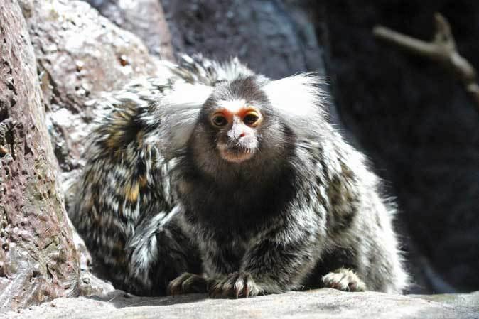 なかよしマーモセットと色々と様変わりな小獣館(上野動物園)_b0355317_20403668.jpg