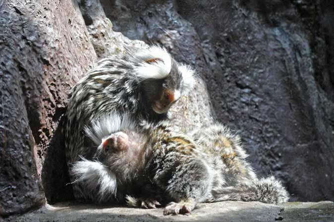 なかよしマーモセットと色々と様変わりな小獣館(上野動物園)_b0355317_20414504.jpg