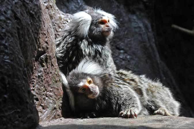 なかよしマーモセットと色々と様変わりな小獣館(上野動物園)_b0355317_20422531.jpg