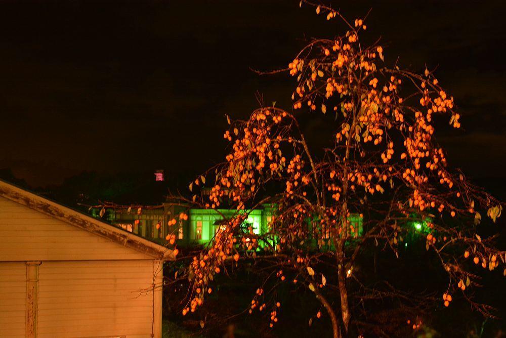 歩兵第六聯隊隊舎脇の柿の木 その2_e0373930_20242220.jpg