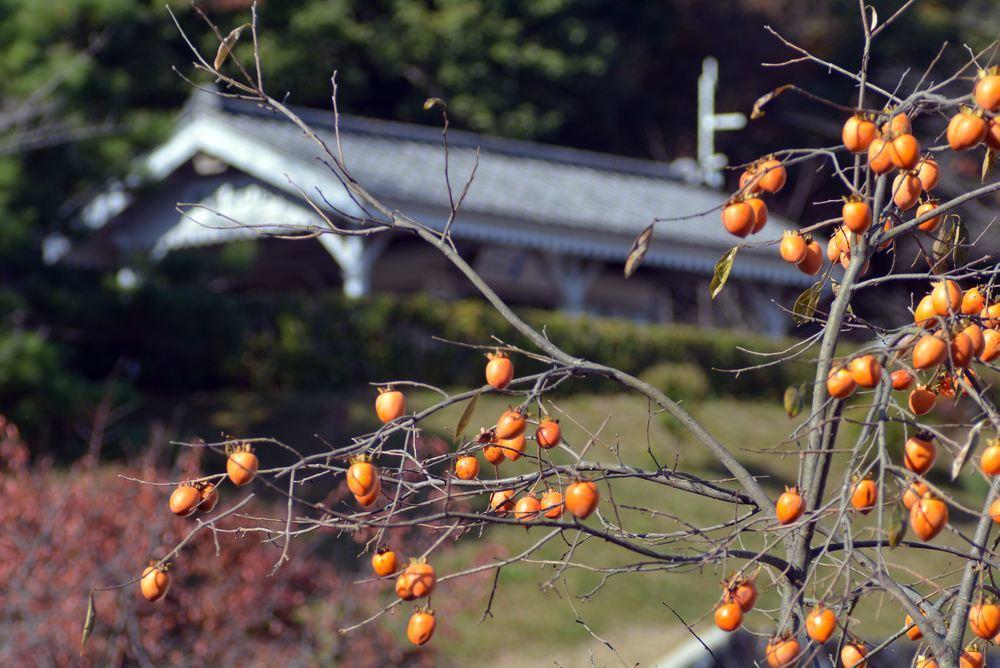 歩兵第六聯隊隊舎脇の柿の木 その1_e0373930_20242277.jpg