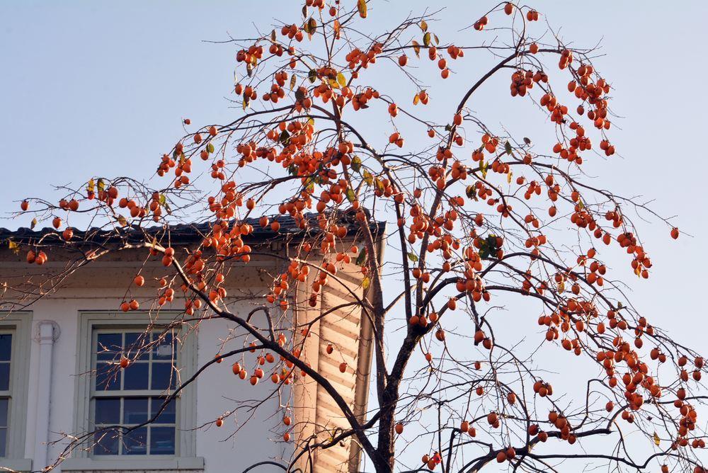 歩兵第六聯隊隊舎脇の柿の木 その1_e0373930_20242331.jpg