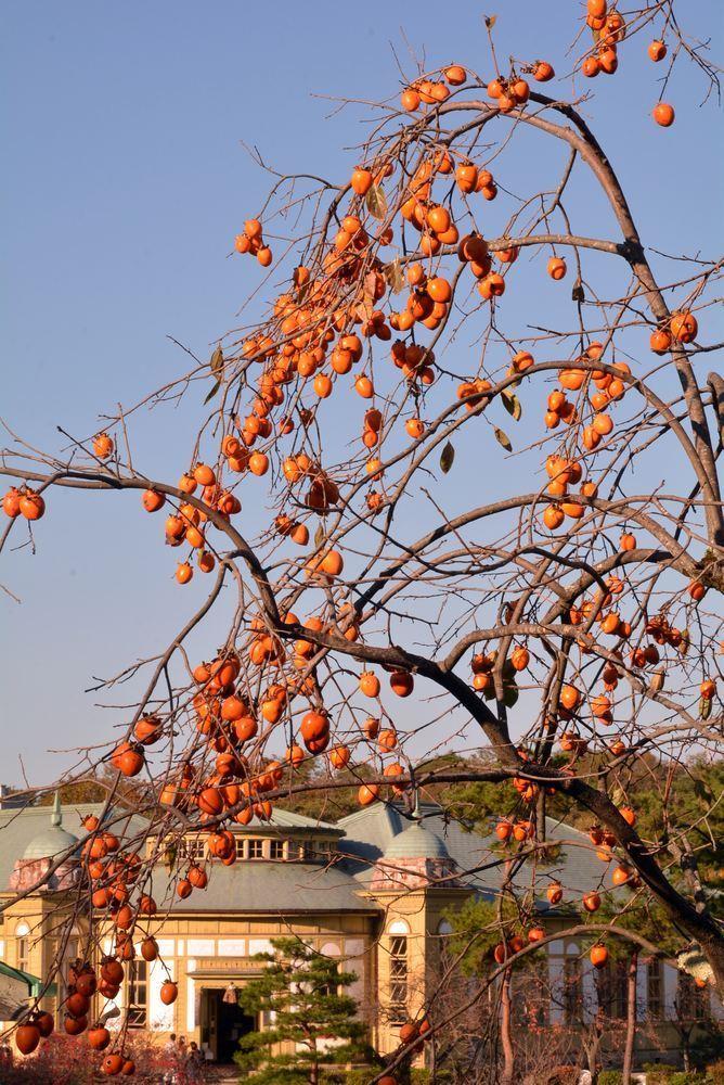 歩兵第六聯隊隊舎脇の柿の木 その2_e0373930_20242358.jpg