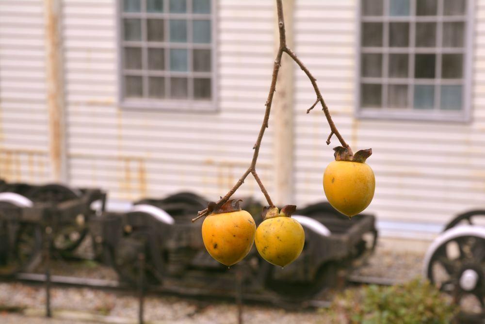 歩兵第六聯隊隊舎脇の柿の木 その1_e0373930_20254097.jpg