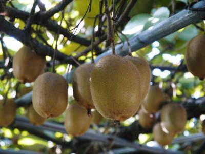 平成30年度『水源キウイ』の予約受付を開始!完全無農薬・無化学肥料の国産キウイの収穫始めました!_a0254656_17350403.jpg