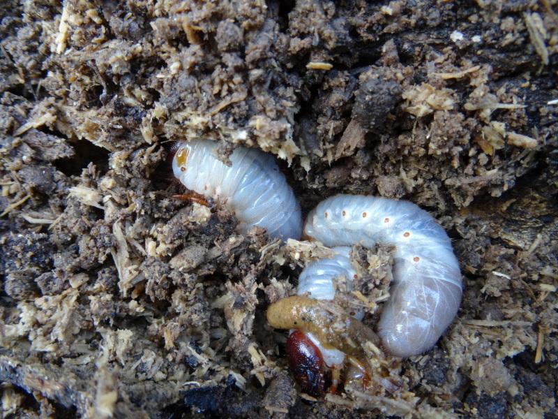 カブトムシ幼虫保護・・・うみべの森_c0108460_17412804.jpg
