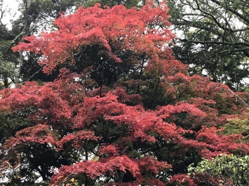 🍁真っ赤な真っ赤な紅葉まつり🍁_a0218119_21174541.jpg