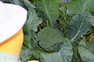 ブロッコリー収穫なのだ~!_c0259934_16371672.jpg