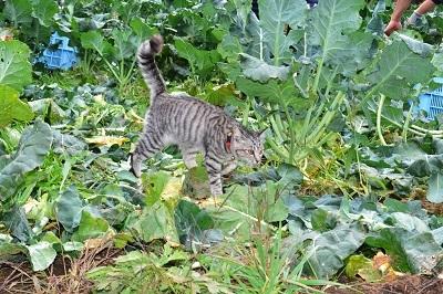 ブロッコリー収穫なのだ~!_c0259934_16371684.jpg