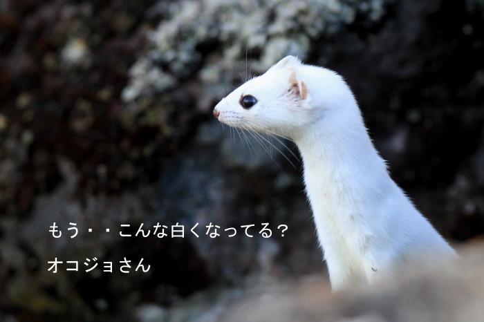ナキウサギ・・オコジョさんは?_c0229170_19383058.jpg