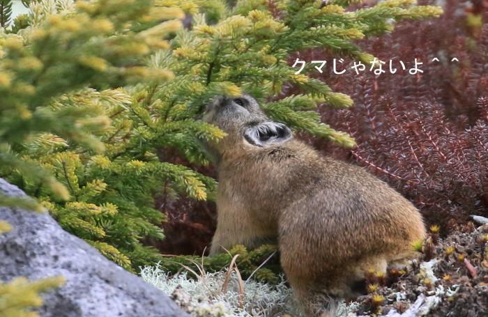 ナキウサギ・・オコジョさんは?_c0229170_19393629.jpg