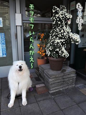 日曜日の菊ローカ_c0062832_16495388.jpg