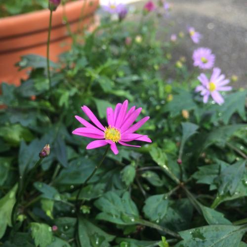 1日限りの朝顔の花と千年の松_e0103327_11024806.jpg