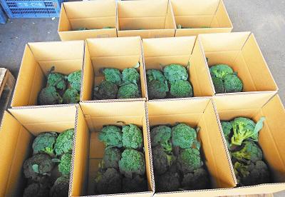 ブロッコリー収穫なのだ~!_c0259934_09171281.jpg