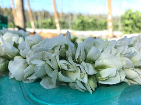 スナップえんどうの花のレイ_b0181141_23013245.jpg