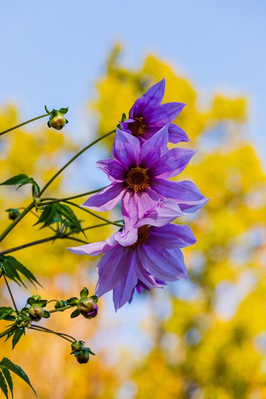 初冬の青空に咲く_a0261169_19585940.jpg