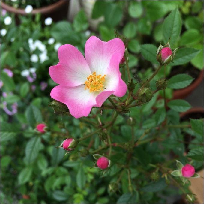 今月のプレゼント編曲は「野バラに寄す(E.マクダウェル)」_e0103327_17250966.jpg