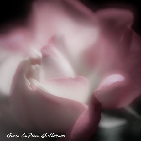 花のある風景 バラの花びら_b0133053_00453979.jpg