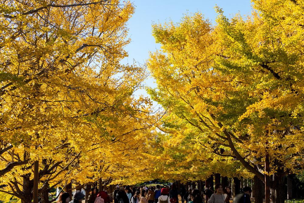 銀杏並木は黄金色に輝いていた_a0261169_22310035.jpg