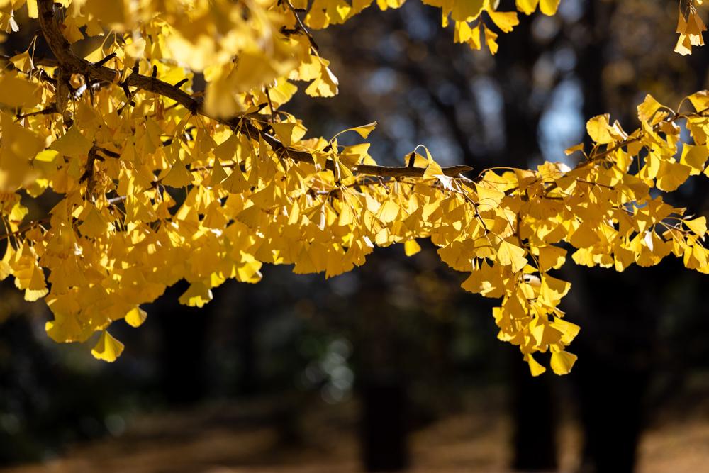銀杏並木は黄金色に輝いていた_a0261169_22311567.jpg