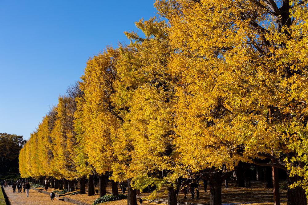 銀杏並木は黄金色に輝いていた_a0261169_22312915.jpg