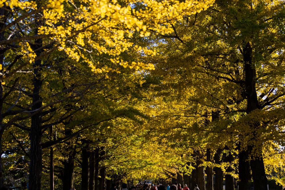 銀杏並木は黄金色に輝いていた_a0261169_22315739.jpg
