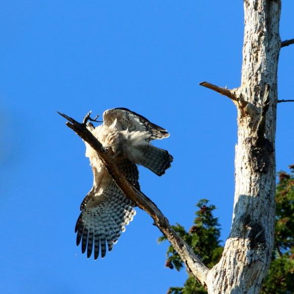 枯木に軟着陸する熊鷹幼鳥_d0346713_15410655.jpg