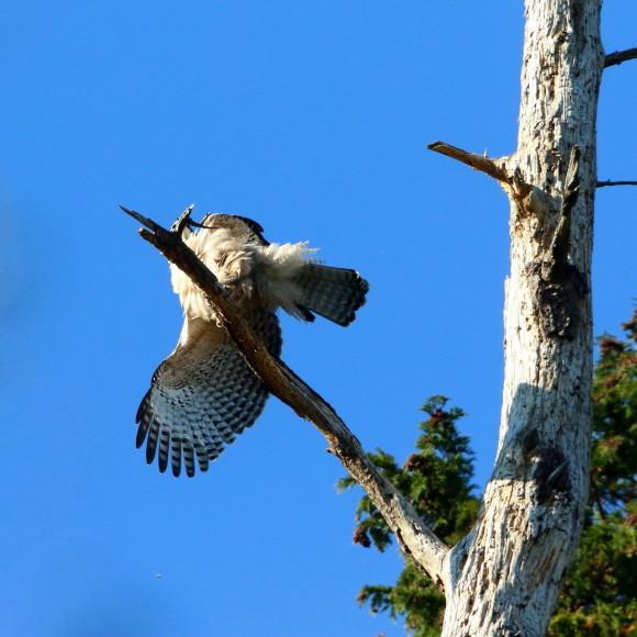 枯木に軟着陸する熊鷹幼鳥_d0346713_15412750.jpg