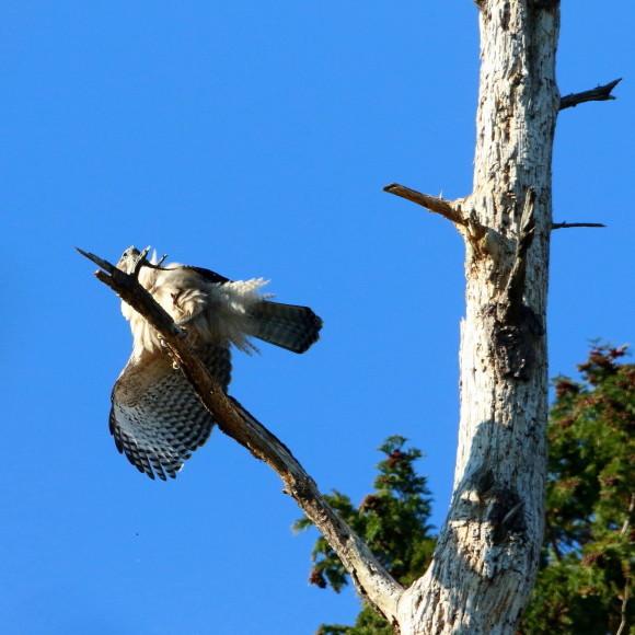 枯木に軟着陸する熊鷹幼鳥_d0346713_15413712.jpg
