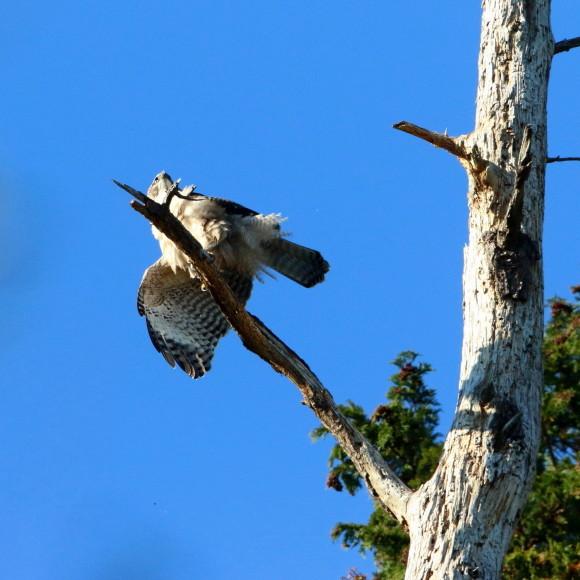 枯木に軟着陸する熊鷹幼鳥_d0346713_15414921.jpg
