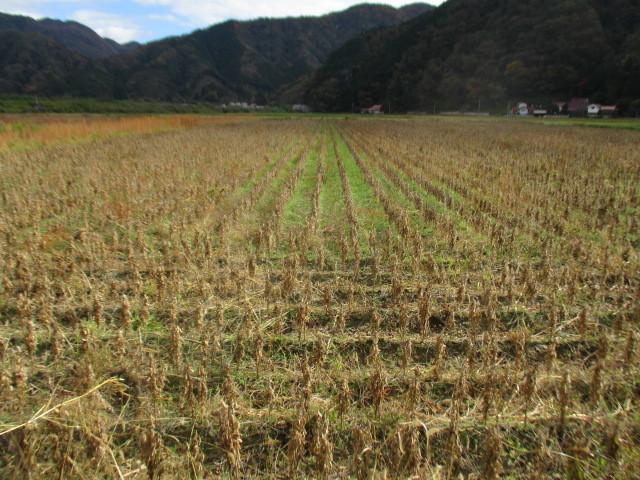 初めての大豆収穫_b0274329_17330961.jpg