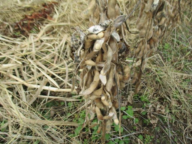 初めての大豆収穫_b0274329_17331364.jpg