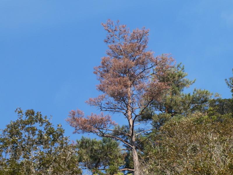 枯れ松大木の伐採・・・孝子の森_c0108460_21213485.jpg