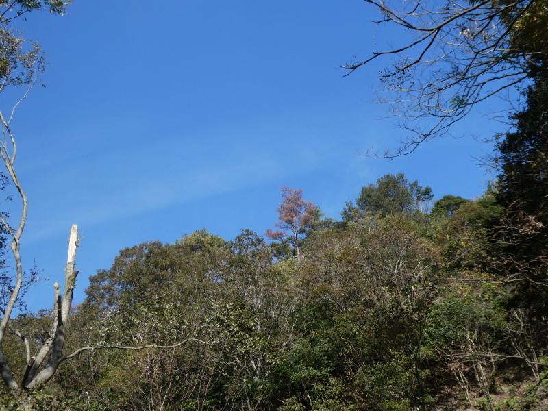 枯れ松大木の伐採・・・孝子の森_c0108460_21213556.jpg