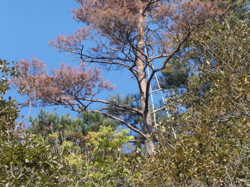枯れ松大木の伐採・・・孝子の森_c0108460_21225061.jpg