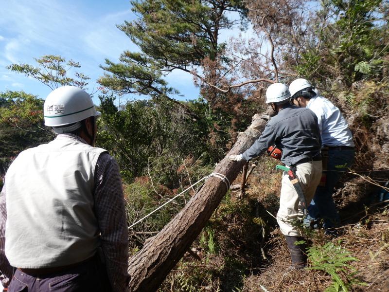 枯れ松大木の伐採・・・孝子の森_c0108460_21271131.jpg