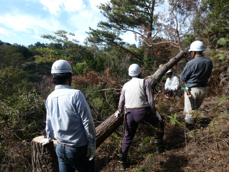 枯れ松大木の伐採・・・孝子の森_c0108460_21271389.jpg