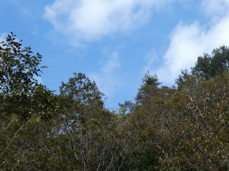 枯れ松大木の伐採・・・孝子の森_c0108460_21391791.jpg