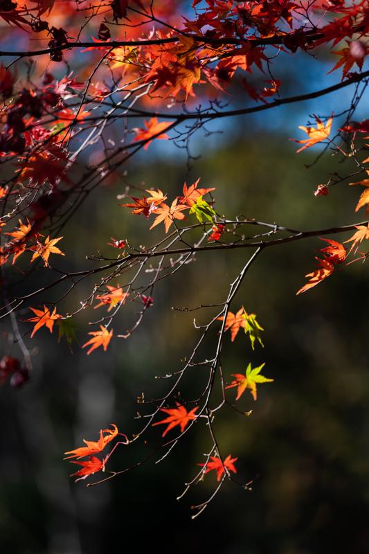 国営 昭和記念公園の紅葉_a0261169_12541168.jpg