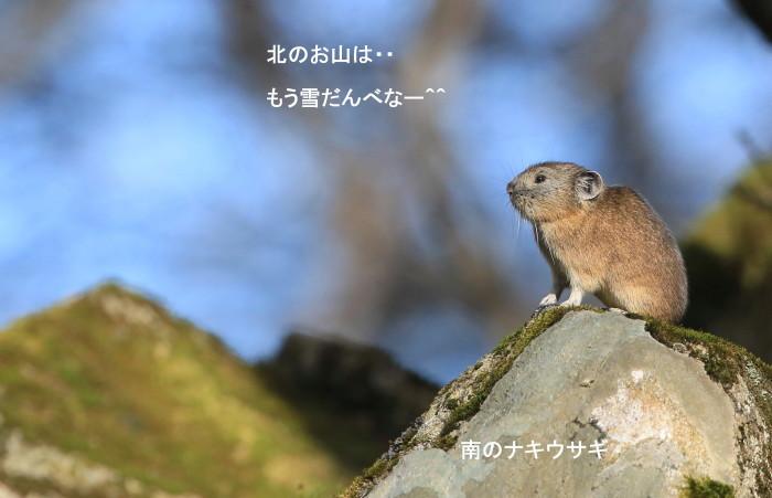ナキウサギとシロハヤブサの季節_c0229170_21011940.jpg