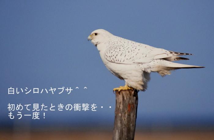 ナキウサギとシロハヤブサの季節_c0229170_21020891.jpg