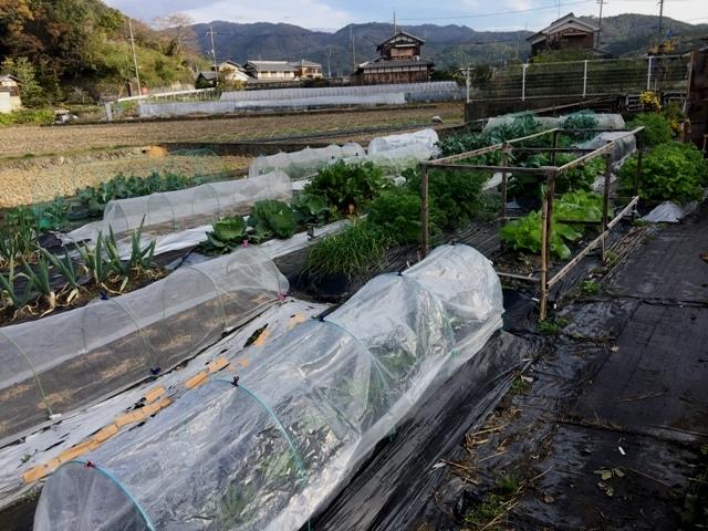 北摂の家庭菜園も冬に向かっている・・!!_f0229190_20121152.jpg